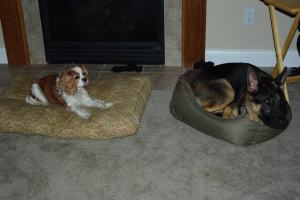 Princess Eleanor Roosevelt (left) always went after what she wanted including my sisters dog (right), Jaegar's bed.